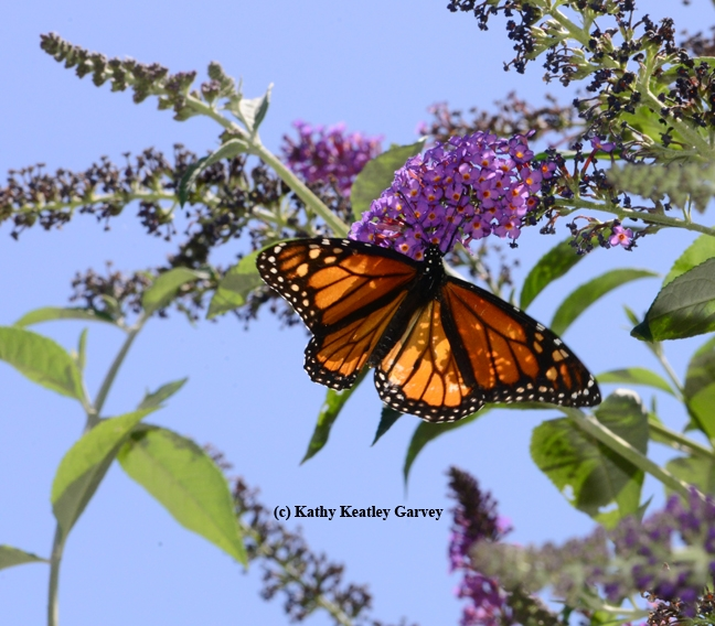 At times, the monarch resembles a strained glass window. (Photo by Kathy Keatley Garvey)