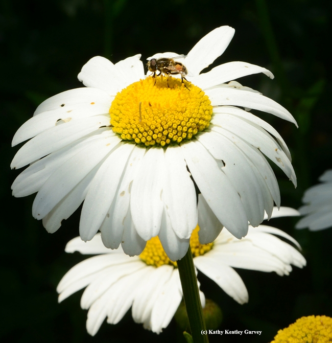 A drone fly, Eristalis tenax, on a Shasta daisy at the Luther Burbank Home and Gardens. (Photo by Kathy Keatley Garvey)