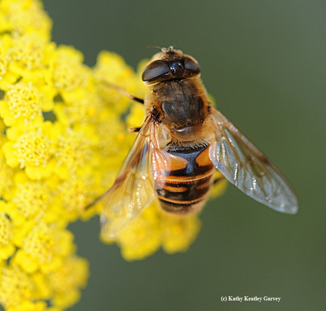 Close-up of a drone fly, Eristalis tenax. (Photo by Kathy Keatley Garvey)
