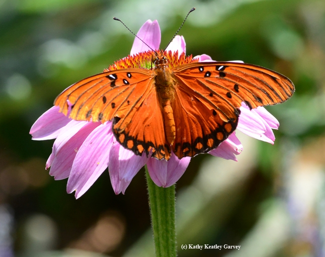 Gulf Fritillary (Agraulis vanillae) spreads its wings on a purple coneflower (Echinacea purpurea). (Photo by Kathy Keatley Garvey)