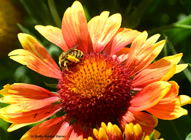 A sunflower bee (Melissodes agilis)  forages on a blanket flower (Gallardia). (Photo by Kathy Keatley Garvey)
