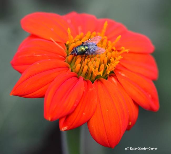A green bottle fly rests on a Mexican sunflower (Tithonia rotundifolia). (Photo by Kathy Keatley Garvey)