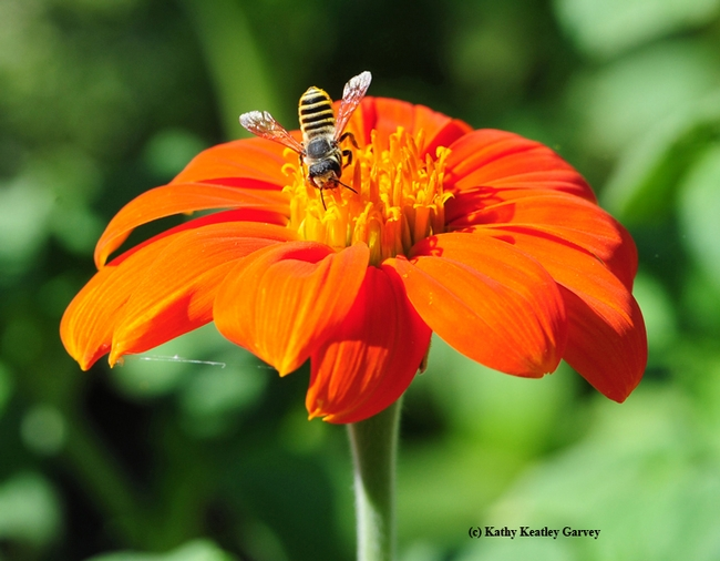 A leafcutting bee, Megachile fidelis, on a Mexican sunflower (Tithonia rotundifolia). (Photo by Kathy Keatley Garvey)