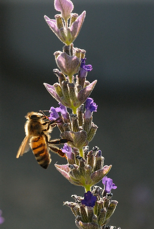 HONEY BEES are nectaring outside the Western Apicultural Society conference in Healdsburg. The key subject at the conference: bee health. (Photo by Kathy Keatley Garvey)