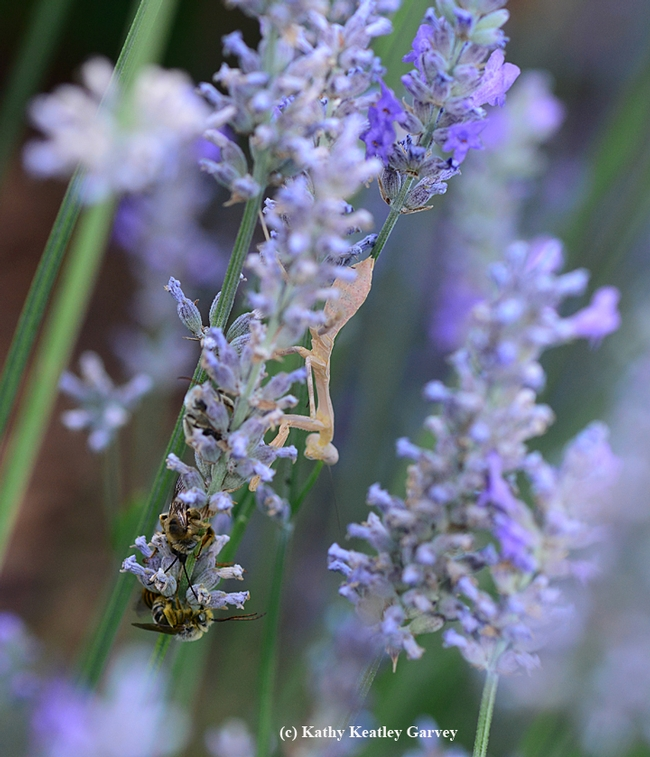 A praying mantis climbs down a lavender stem to get a closer look at the sleeping boy bees, longhorned digger bees, Melissodes agilis. (Photo by Kathy Keatley Garvey)