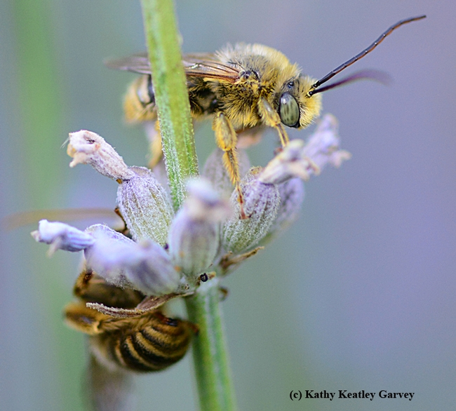 Whew! That was close. A sleepy male longhorned digger bee gets ready to fly. (Photo by Kathy Keatley Garvey)
