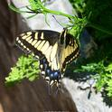 Anise swallowtail visiting a community park in Benicia. (Photo by Kathy Keatley Garvey)