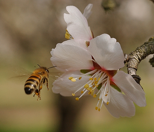 HONEY BEE heads toward an almond blossom.  Saturday, Aug. 22 is National Honey Bee Awareness Day.  Without honey bees, we would not have almonds. Two hives per acre are needed to pollinate California's 700,000 acres. (Photo by Kathy Keatley Garvey)