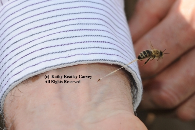 This photo of a bee sting, by Kathy Keatley Garvey, appears in Sarah Albee's book,