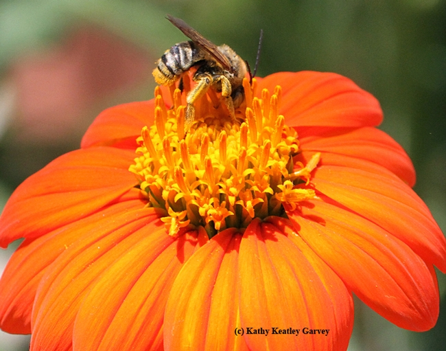 A male longhorned sunflower bee, Svastra obliqua, foraging on a Mexican sunflower. (Photo by Kathy Keatley Garvey)