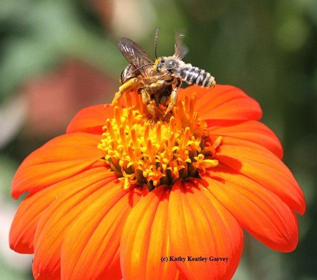A male longhorned sunflower bee, Melissodes agilis (right), targets the larger Svastra obliqua. (Photo by Kathy Keatley Garvey)