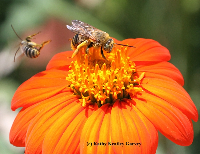 Melissodes agilis (left) goes sprawling. (Photo by Kathy Keatley Garvey)