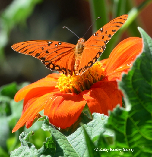 A Gulf Fritillary, Agraulis vanillae, takes flight. (Photo by Kathy Keatley Garvey)