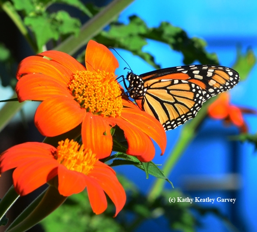 A monarch butterfly (Danaus plexippus) foraging on the Tithonia. (Photo by Kathy Keatley Garvey)