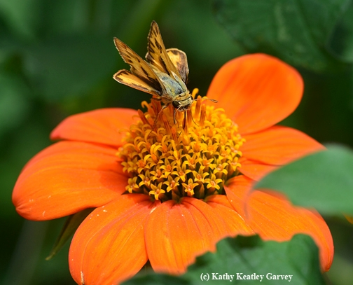 A skipper takes a liking to the Tithonia. (Photo by Kathy Keatley Garvey)