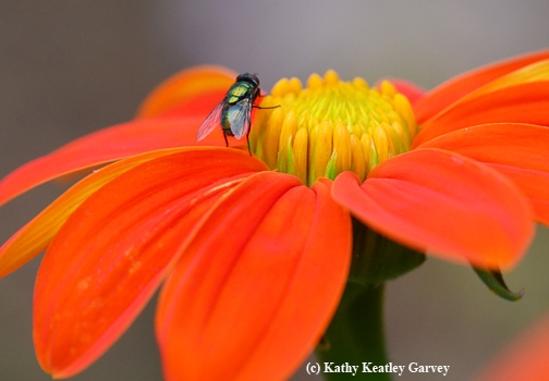 This fly is a pollinator, too! (Photo by Kathy Keatley Garvey)