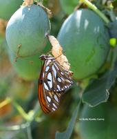 A newly emerged Gulf Fritillary. (Photo by Kathy Keatley Garvey)