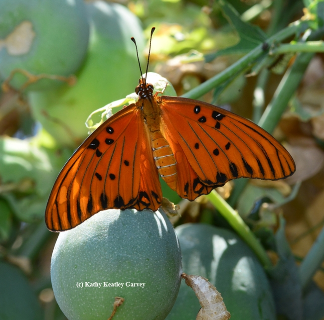 Newly emerged Gulf Frit flashing its wings. (Photo by Kathy Keatley Garvey)
