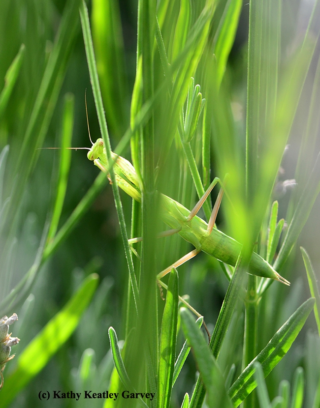 Exposed! Praying mantis peering around green stems. (Photo by Kathy Keatley Garvey)
