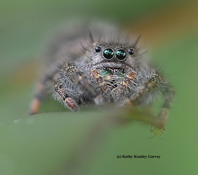A jumping spider ready to jump. (Photo by Kathy Keatley Garvey)