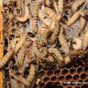 Wax moth larvae and a hive beetle (top left). (Photo by Kathy Keatley Garvey)