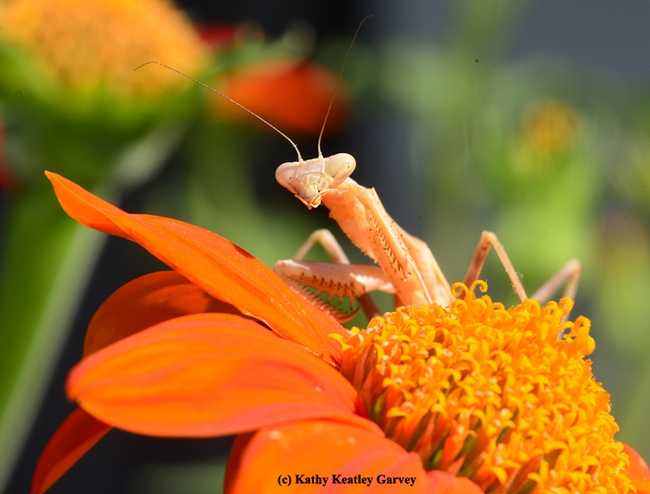 A praying mantis eyes the photographer. (Photo by Kathy Keatley Garvey)