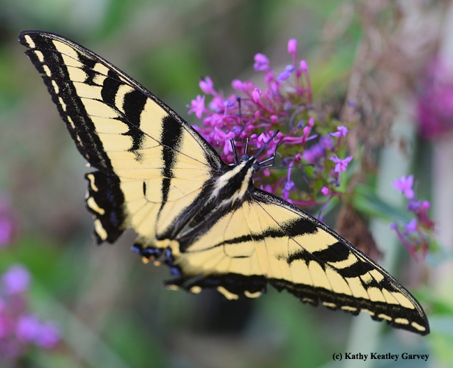 Western tiger swallowtail, Papilio rutulus, glides on Jupiter's beard, Centranthus ruber. This one is missing part of its wing structure, no thanks to a predator. (Photo by Kathy Keatley Garvey)