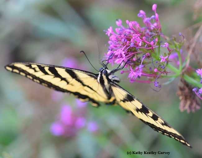 The Western tiger swallowtail swoops down for a little nectar on Jupiter's beard.  (Photo by Kathy Keatley Garvey)