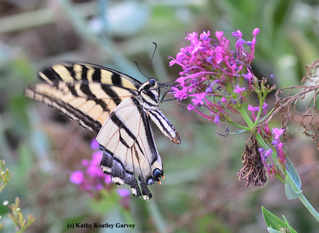 Western tiger swallowtail sipping nectar from Jupiter's beard. (Photo by Kathy Keatley Garvey)
