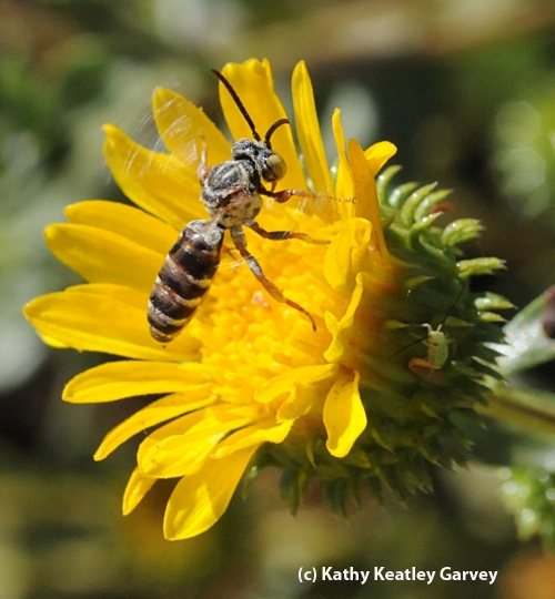 NOT YOUR BASIC BEE--The cuckoo bee, probably the genus Triepeolus and probably a male (according to Robbin Thorp), on a gum plant. (Photo by Kathy Keatley Garvey)