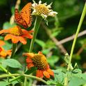 A praying mantis eyes a Gulf Fritillary butterfly. (Photo by Kathy Keatley Garvey)