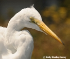 Egret feasted on our fish. (Photo by Kathy Keatley Garvey)