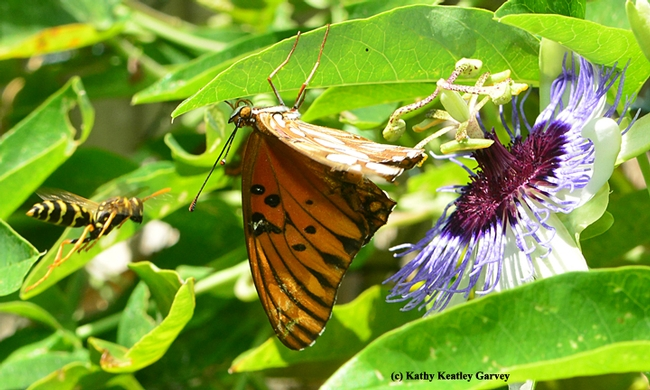 European paper wasp targets a crippled Gulf Fritillary. (Photo by Kathy Keatley Garvey)