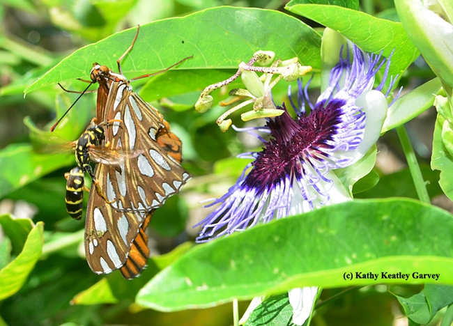A European paper wasp attacks a crippled Gulf Fritillary. (Photo by Kathy Keatley Garvey)