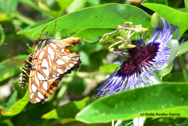 The injured abdomen of the Gulf Fritillary. (Photo by Kathy Keatle Garvey)