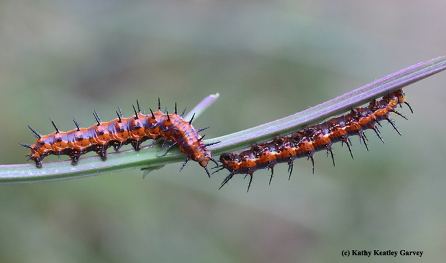 Two Gulf Fritillary caterpillars meet on a stem after having munched all the leaves. (Photo by Kathy Keatley Garvey)