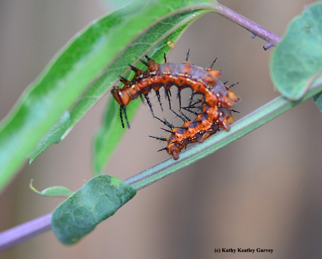 Gulf Frit catepillar does an end run. (Photo by Kathy Keatley Garvey)
