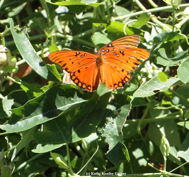 Two Gulf Fritillaries ready to mate. Note the decimated leaves around them. (Photo by Kathy Keatley Garvey)