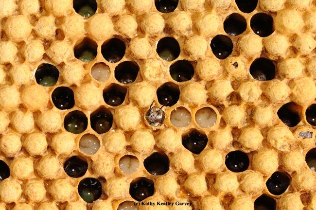 A drone (male bee) emerging. (Photo by Kathy Keatley Garvey)