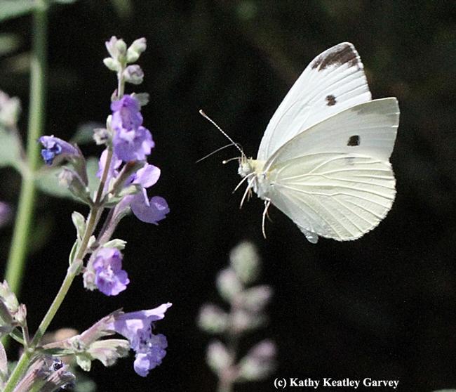 Cabbage white butterfly in mid-flight. (Photo by Kathy Keatley Garvey)