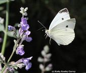 Cabbage white butterfly in mid-flight. (Photo by Kathy Keatley Garvey)