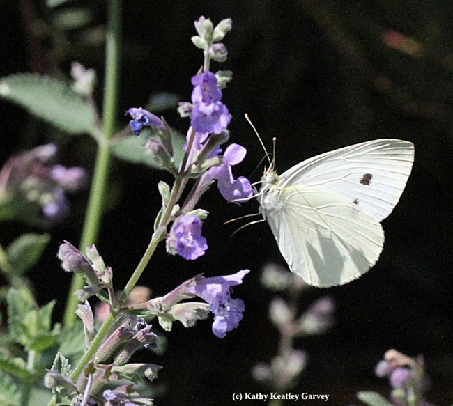 Cabbage white nectaring on catmint. (Photo by Kathy Keatley Garvey)