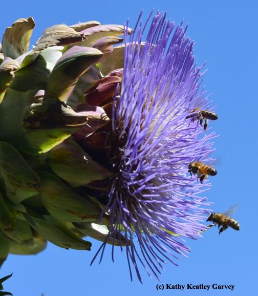 Honey bees flying in formation toward an artichoke in bloom. (Photo by Kathy Keatley Garvey)