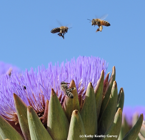 Carrying heavy loads of pollen, bees look for more. (Photo by Kathy Keatley Garvey)