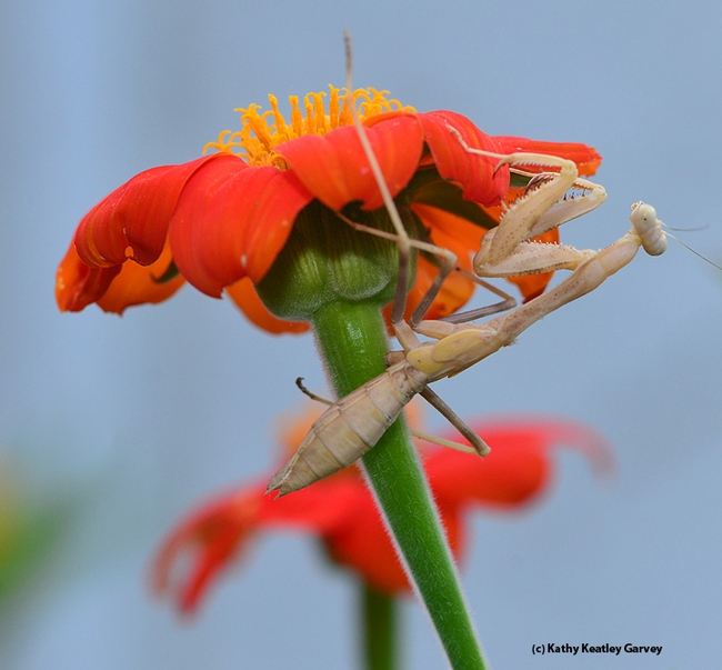 Praying mantis hides beneath the petals of a Mexican sunflower. (Photo by Kathy Keatley Garvey)