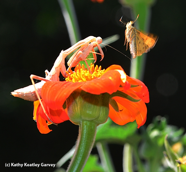 A leap and a near miss as a startled fiery skipper spins away. (Photo by Kathy Keatley Garvey)
