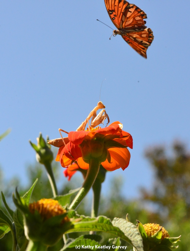 The Gulf Fritillary moves out of the way of the praying matnis. (Photo by Kathy Keatley Garvey)