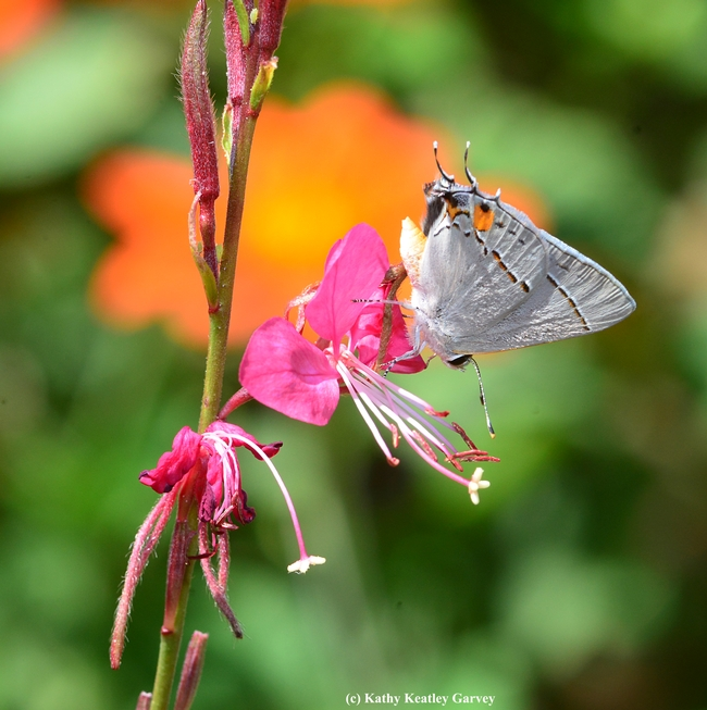 Bottoms up! Gray Hairstreak sipping nectar from guara. (Photo by Kathy Keatley Garvey)