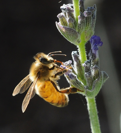 ITALIAN HONEY BEE forages for nectar on lavender. (Photo by Kathy Keatley Garvey)