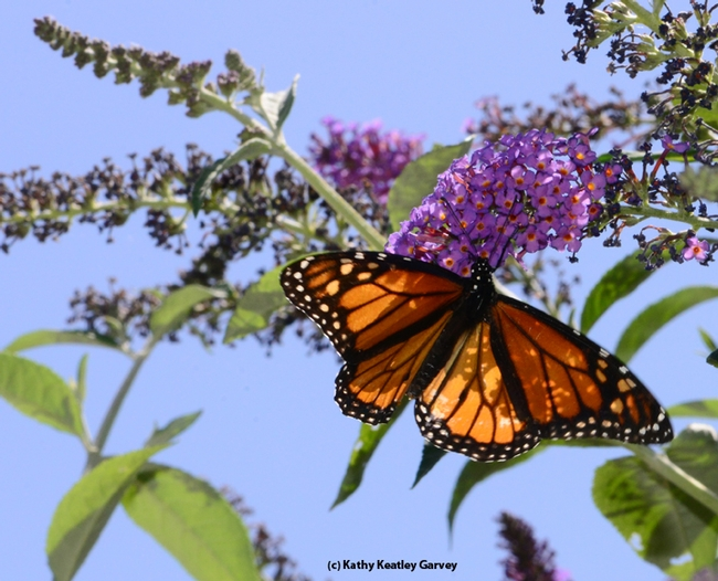 Monarch butterfly heading toward a butterfly bush. (Photo by Kathy Keatley Garvey)